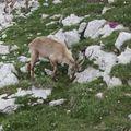 2009 06 29 Un bouquetin sur le sommet du Grand Veymont (15)