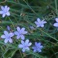végétation locale - Aphyllanthe de Montpellier