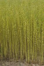 tiges de lin - graine de lin - levure de riz rouge