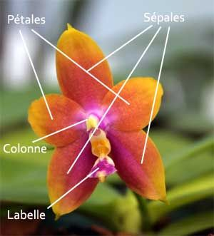 description_orchid_e