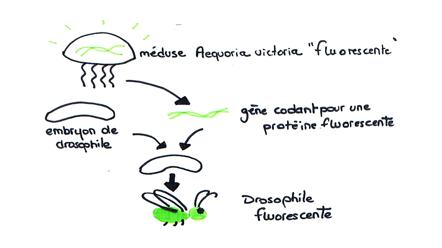 transgenese Gène GFP