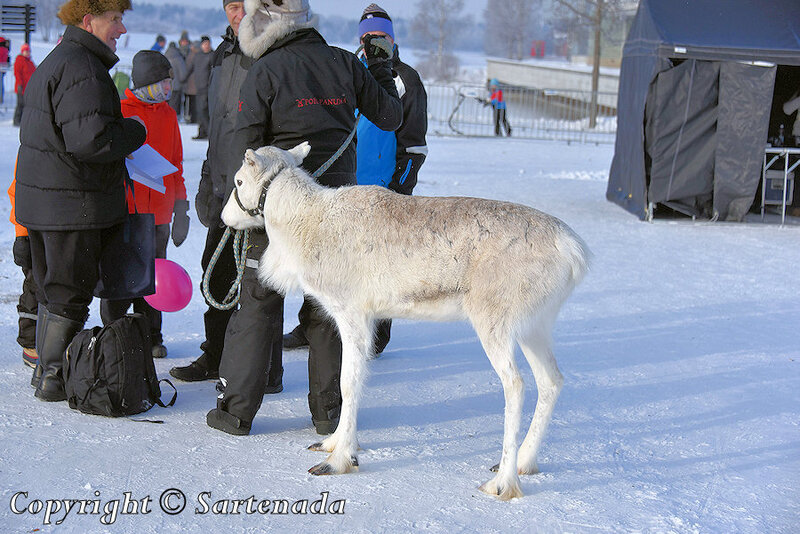 reindeer_rides_for_families_oulu_-16