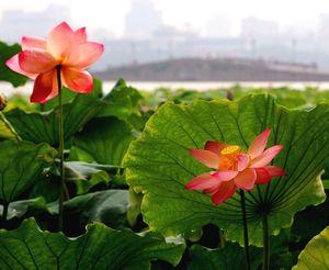 fleurs_de_lotus_1220011556