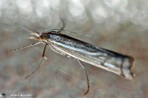 Catoptria-falsella-2