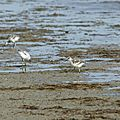 Recurvirostra avosetta - Avocettes élégantes juvéniles