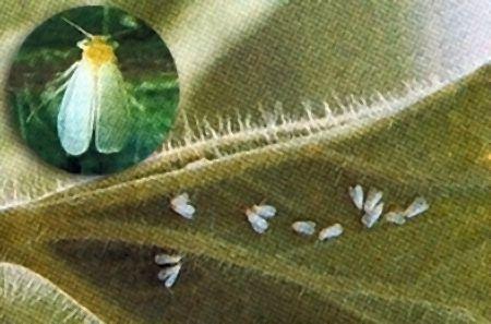 Les Aleurodes alias les Mouches blanches • F. Aleyrodidae