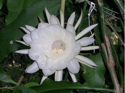 épiphyllum 2