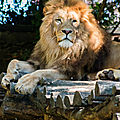 lion beauval5