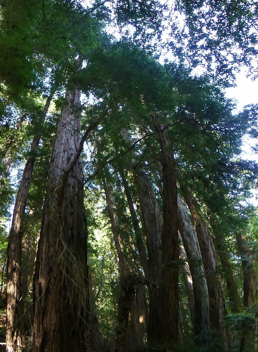 Muir Woods (13)
