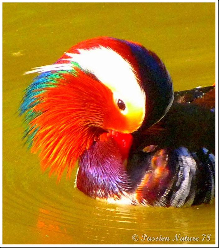 Le canard mandarin (8)