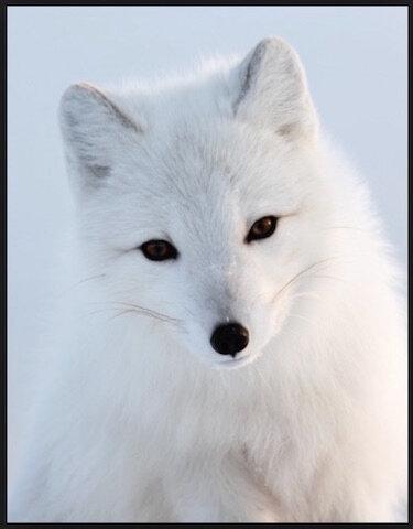 renard arctique 2