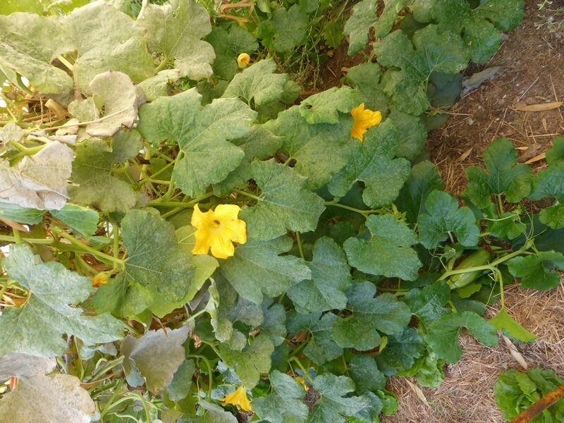 10-courgettes (1)