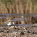 Bécassine des marais (5)