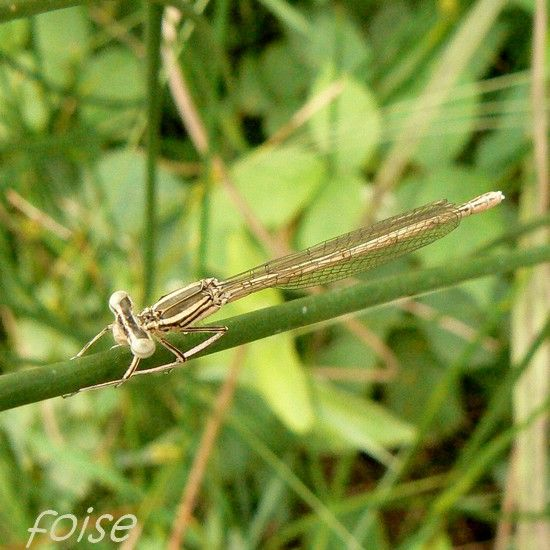 femelle_immature_agrion___large_pattes