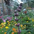 2008 09 01 Une plante inconnu parmis mon mélange de fleur qui attire les abeilles