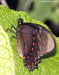 Victorine_Swallowtail__Papilio_victorinus__Christa