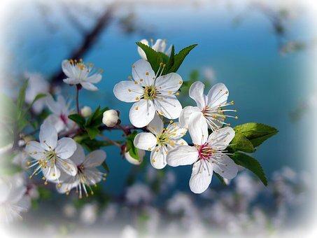 blog cerisier