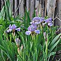 Iris de rocaille 'wimple'