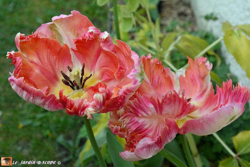 Tulipes-peroquet