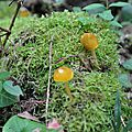 Pluteus leoninus (2)