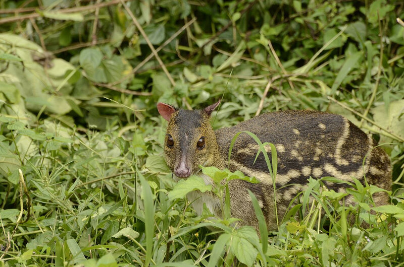 Indian_spotted_chevrotain_Moschiola_indica_Mouse_deer_from_the_Anaimalai_hills_DSC9927_01