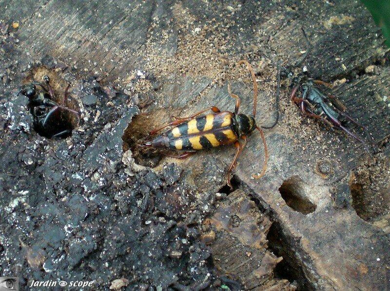 Lepture couleur d'or • Leptura aurulenta • Cerambycidae