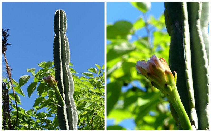 P1440640 cactus cierge