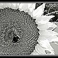 Les tournesols (noir et blanc)