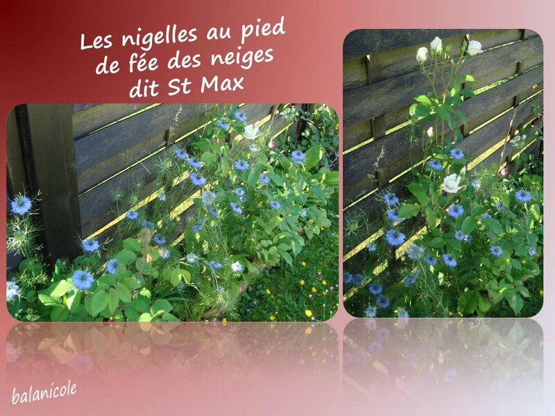 balanicole_2015_mai2_55_nigelles