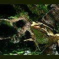 Grenouille de gunther/gunther's frog/貢德氏赤蛙