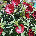 hibiscus Summerific Cranberry Crush