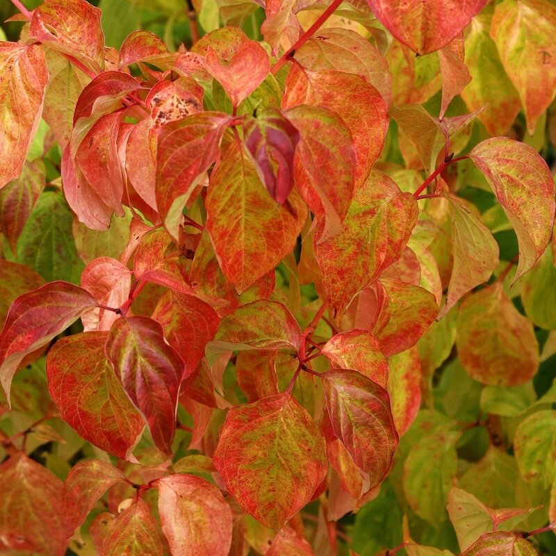 Cornus-sanguinea-Magic-Flame-84018-1