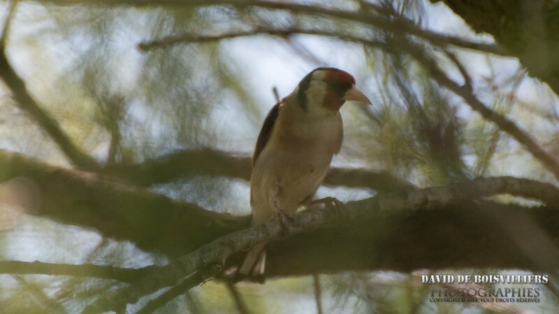 Chardonneret élégant(Carduelis carduelis - European Goldfinch)