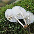 Oudemensiella mucida (10)