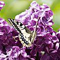 Le lilas fane, il attire les papillons ...