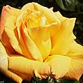 1-Mes roses et Fleurs de Léon 080518