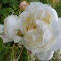 roses-du-soir (14)