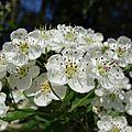 Les aubépines, une promenade au jardin fleuri.
