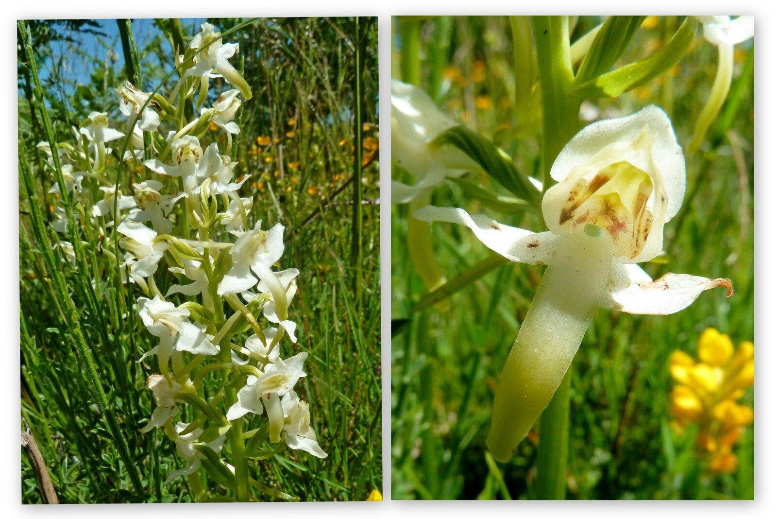 orchidée (orchis verdâtre ?)