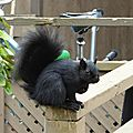 Escapade à toronto - l'ile ward - les écureuils noirs