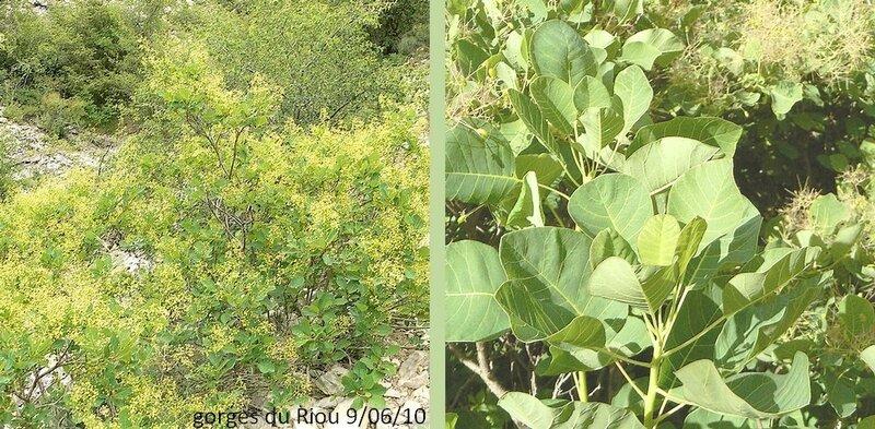 port étalé divergent feuilles alternes pétiolées obovales, obtuses, entières, glauques et mates