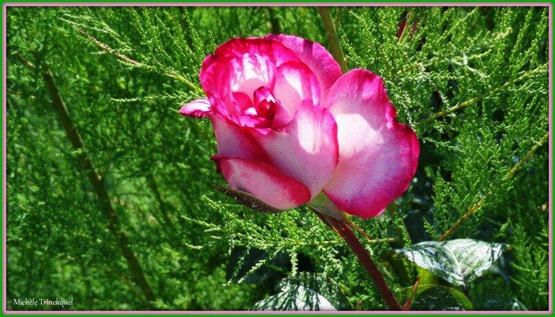 Rose 250615