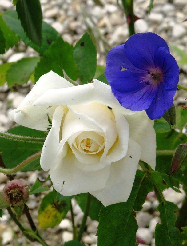 rose blanche de willemse et orion