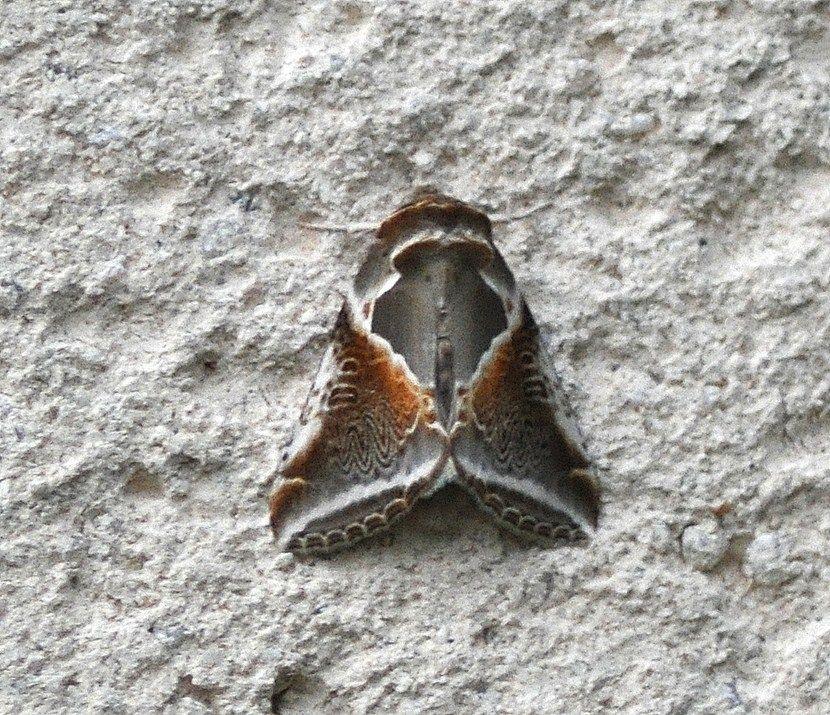 Habrosyne pyritoides (La Râtissée, Agate)