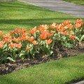 Queques tulipes