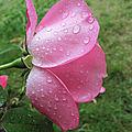 Rose fraîcheur