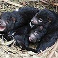 Les (faux) opossums qui font l'histoire 6