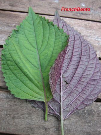 shiso_leaves