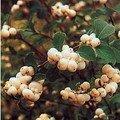 Symphoricarpos albus (symphorine)