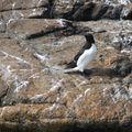 Pingouin Torda5